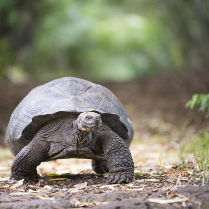Classic Puru & Galapagos_galapagos-island-turtle